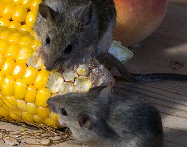 Mice Control Dorset
