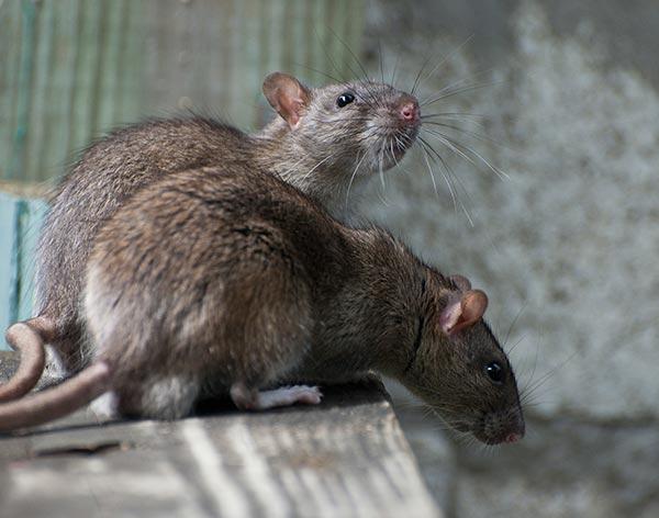 Rat Control Dorset