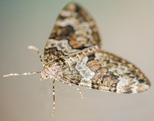 Carpet Moth Removal in Poole and Bournemouth, Dorset