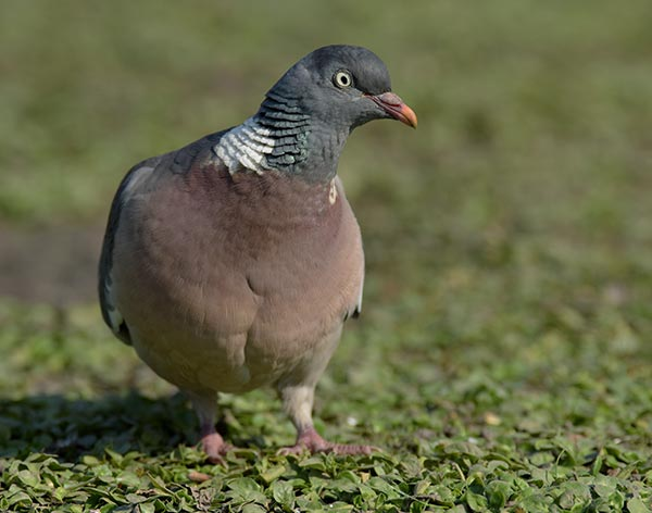 Pigeon Deterrent Dorset