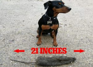 Max The Rat Catcher Strikes Again-TP-Pest-Control-Services Bournemouth