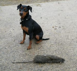 Max from TP Pest Control Services with the biggest rat ever caught in the UK